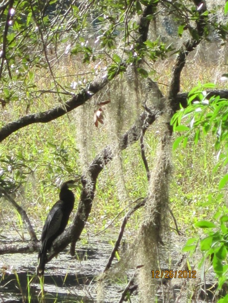 Black water bird on limb just waiting for dinner!