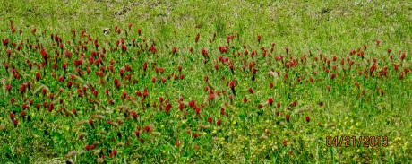 Back roads lined with blooming bright red clover and thistle!