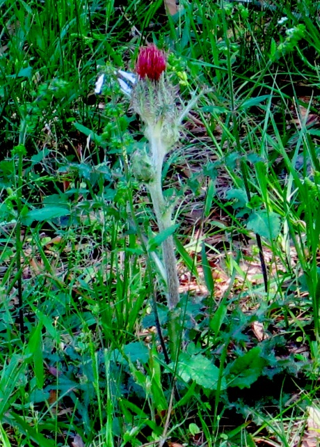 Blooming thistle.