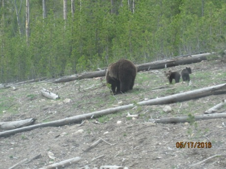 2016-5-17Yellowstone12Bears