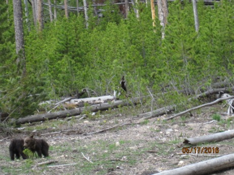 2016-5-17Yellowstone13Bears